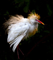 Cattle Egret in full mating color