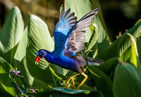 Purple Gallinule eats purple flowers