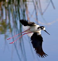 Black Necked Stilt searching for a mate