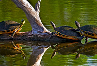 Pond Turtles soaking up the rays